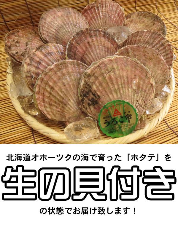 北海道オホーツクの海で育った「ホタテ」を生の貝付きの状態でお届け致します!